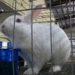 Floridawhiterabbit