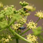 Parsley_beetle_7319